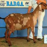 Grand-dam GCH 2*M Haf-Hidden-Acres Bloomsage