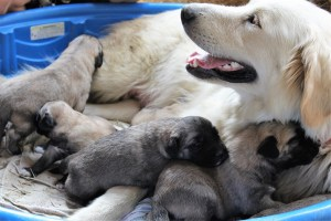Anatolian shepherd turkish livestock guardian boz kangal akbash dogs puppies