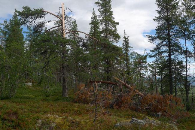 Träd på Àtjek där åskan slagit upp eller ner.