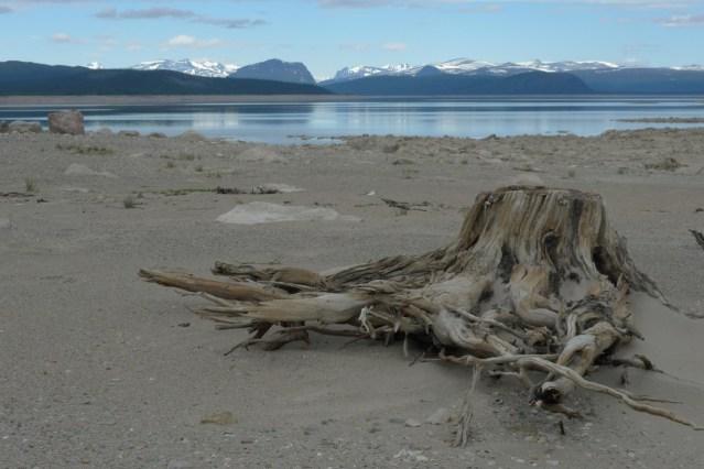 En granrot ligger på en lång strand i Tjaktjadammen. I bakgrunde syns Tjahkeli och sarekfjällen.