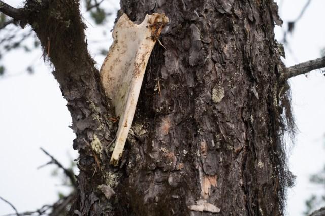Bogblad från ren uppsatt i ett träd