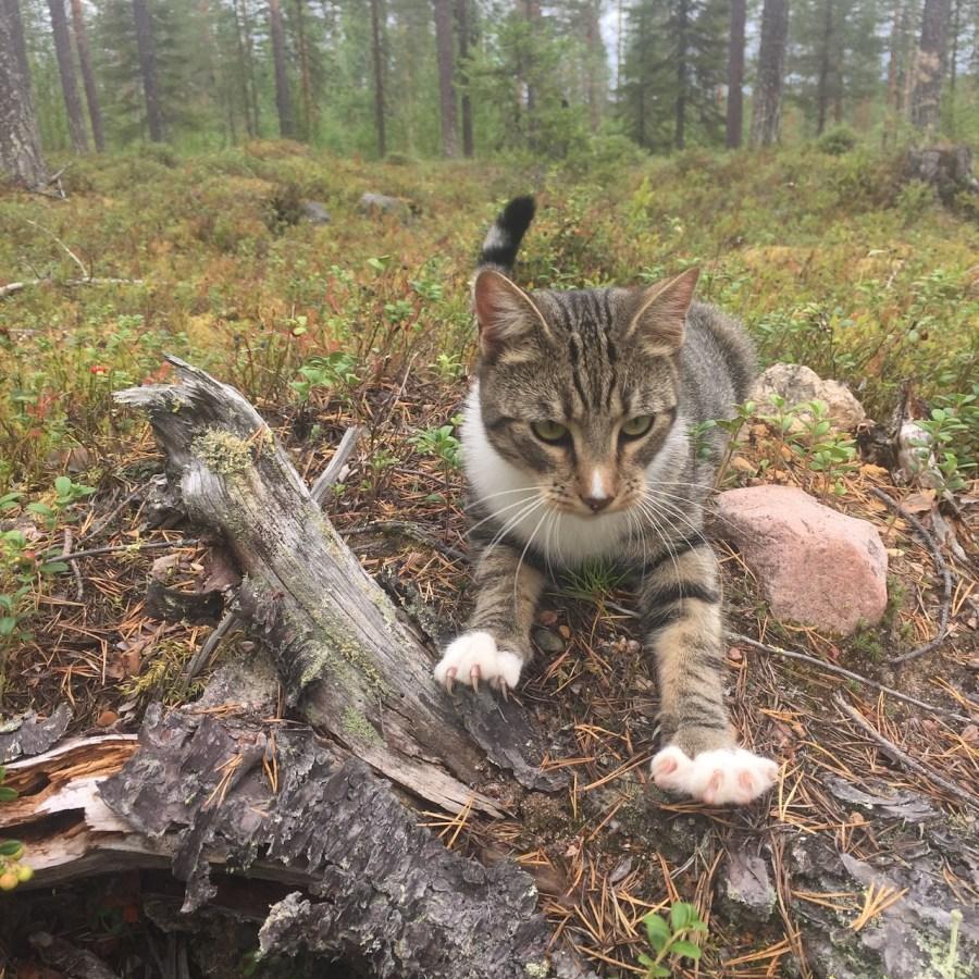 Katt ligger vid en stubbe i skogen med klora framme