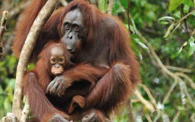 Tour: 4D 3N Sumatera (Orangutan)