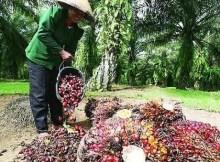 sawit rakyat dan resolusi agraria