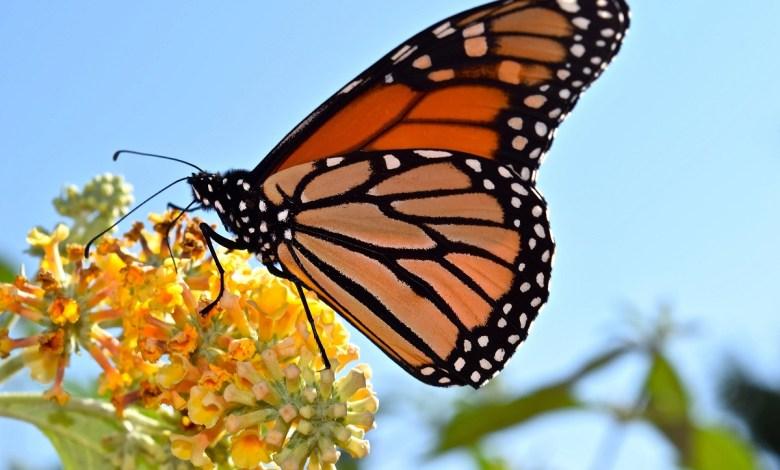 مراحل تحول الفراشة الملكية : من أجمل الفراشات في العالم