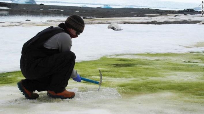 يتوقع العلماء أن يزيد انتشار الثلج الأخضر مع استمرار ما يشهده المناخ من تغيير.