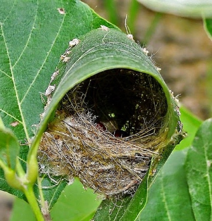 ويتألف العش داخل أوراق الشجر من كومة من النبات والعشب الناعم والشعر .