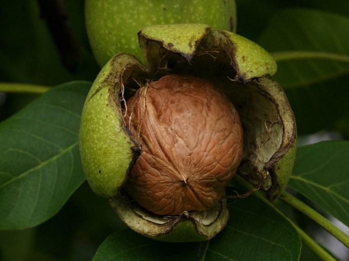 بذرة جوز بقشرتها الصلبة داخل القشرة الخضراء