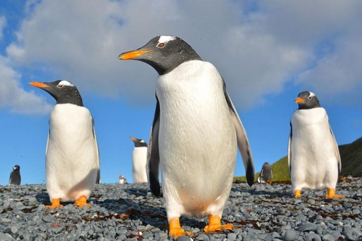 ذكور البطريق تقضي الشتاء في احتضان البيض وتطعم الصغار من حواصلها