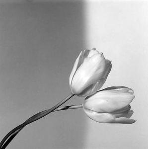 mapplethorpe's tulips