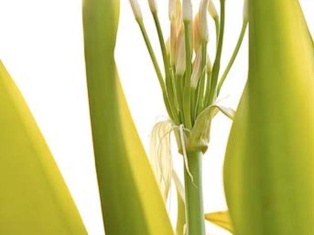 waimea-plant