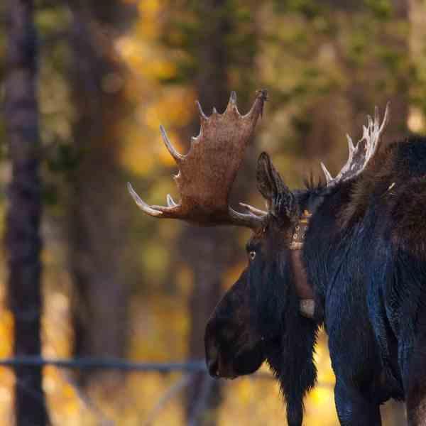Teton Photo Adventures - Bull Moose Looking Love Autumn Rut