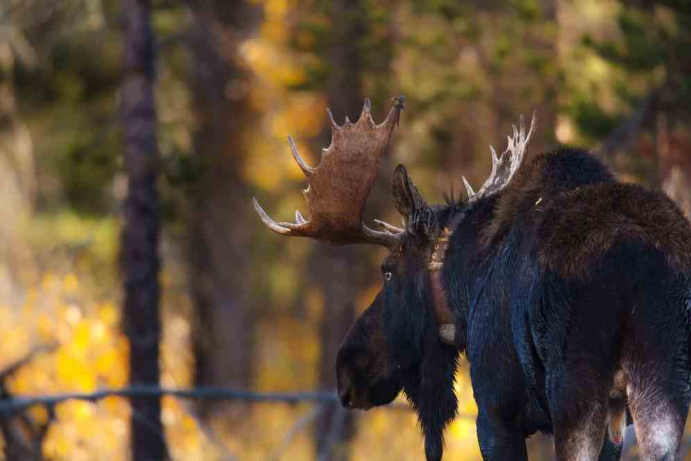 Teton Photo Adventures - Bull Moose Looking Love Autumn Rut