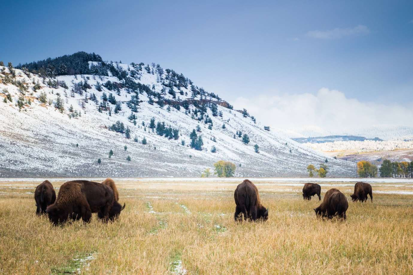 Teton Photo Adventures - Bison Cold Snow Autumn Grazing Tetons