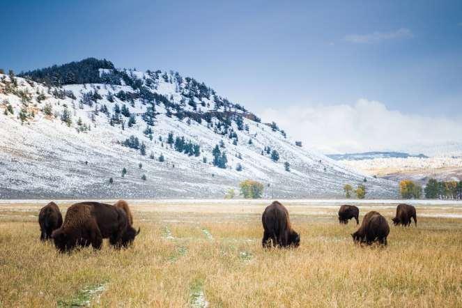 Teton Photo Adventures - Bison Cold Snow Autumn Grazing Tetons