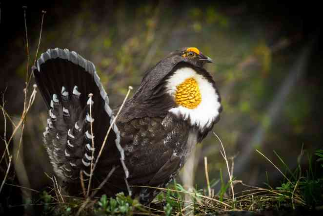 Olympic Photo Adventure - Grouse Male Mating Olympics Washington