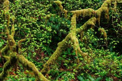 Olympic Photo Adventure - Trees Forest Green Rain Washington