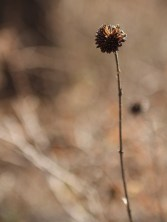 A Plumless Thistle in the Witchita Mountains Wildlife Refuge in Oklahoma.