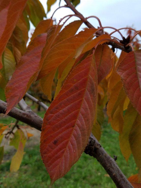 Cherry Orchard in Autumn