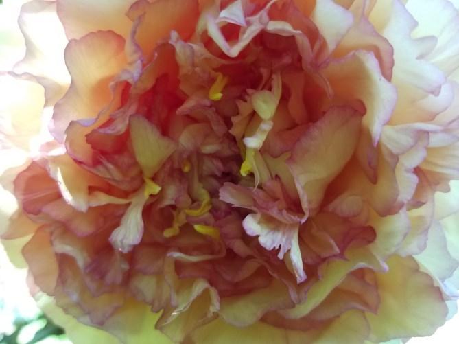 Peonie blooom