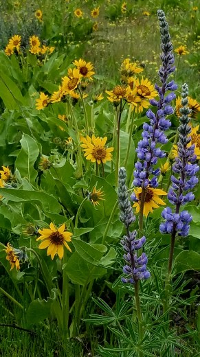 Lupine in the Spring