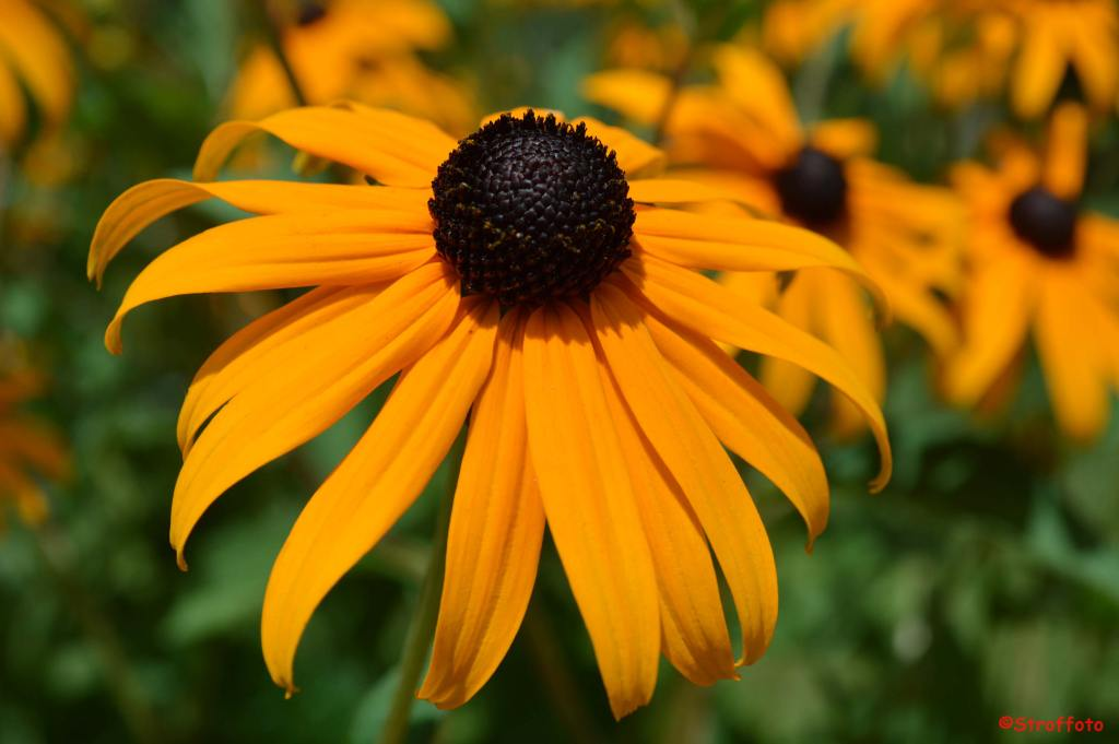 Black Eyed Susan In Vermont