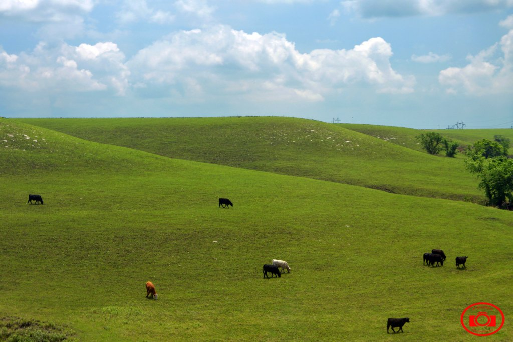 Cattle Grazing in Flint Hills
