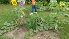 Helianthus annus, Sunflower!