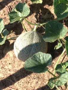 Melons 2015 3