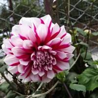 Flower Violet-nature's wonder