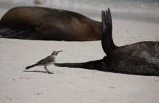 A curious mockingbird from Espanola inspecting a Galapagos sea lion.