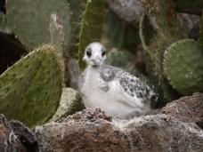 A young gull hidden between cacti - Genovesa Island.