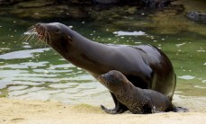 Sea lions can be differentiated from seals quite easily. Sea lions are generally more slender than seals, have a longer muzzle and external ears; they are also able to bring their hind flippers underneath their bodies, which enables them to walk on all fours while on land.