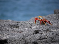 This crab is thought to be named after a red-haired dancer from the Caribbean.