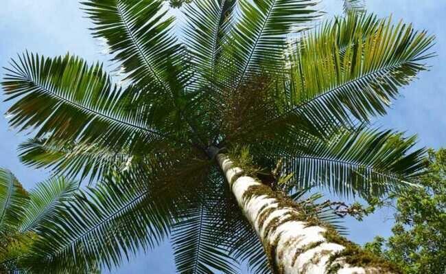 Cultivo do palmito pupunha não é favorável à preservação do juçara no litoral, diz Ademadan 1