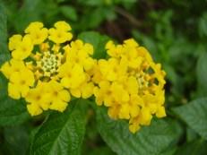 Yellow Stinkers