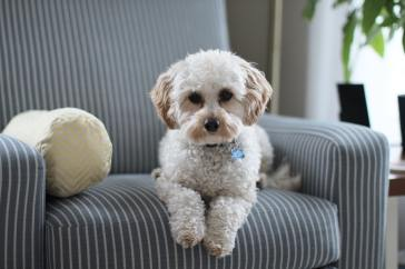A small white dog lying on an armchair