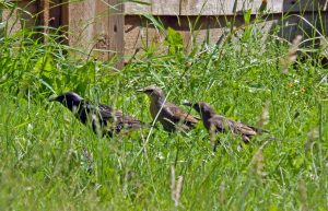 starling family in long grass