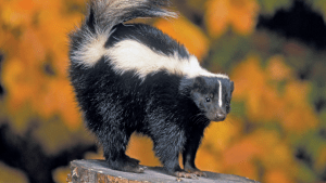 Skunk in front of golden-leaved trees in autumn