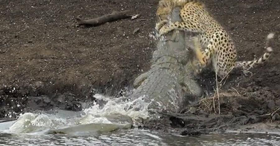 Cocodrilo atrapando a un guepardo (video fuerte)