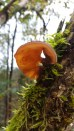 Auricularia auricula-judae