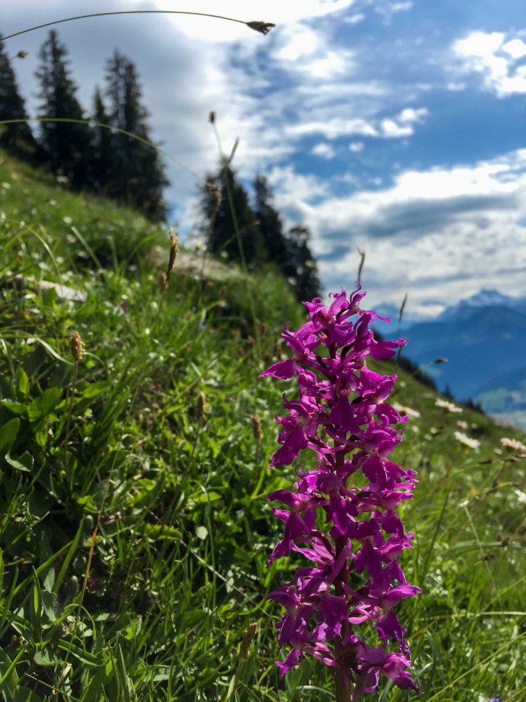 Flower of the Alps