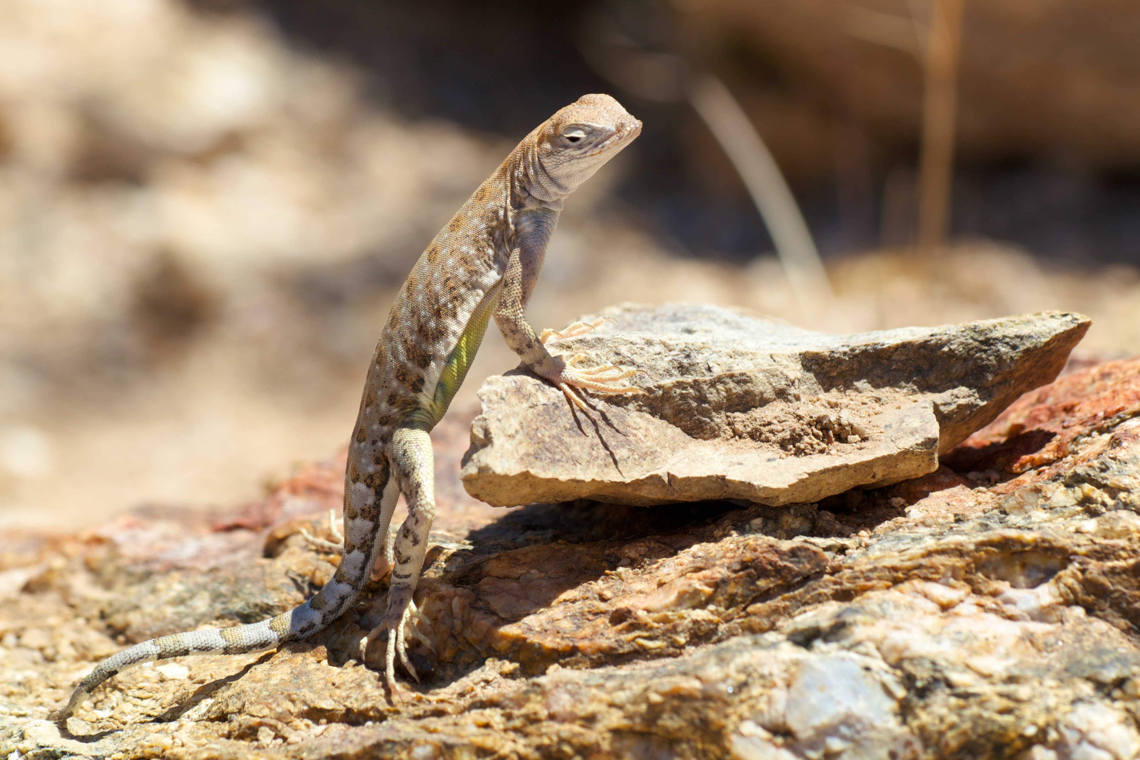 Lizard in Sonoran Desert