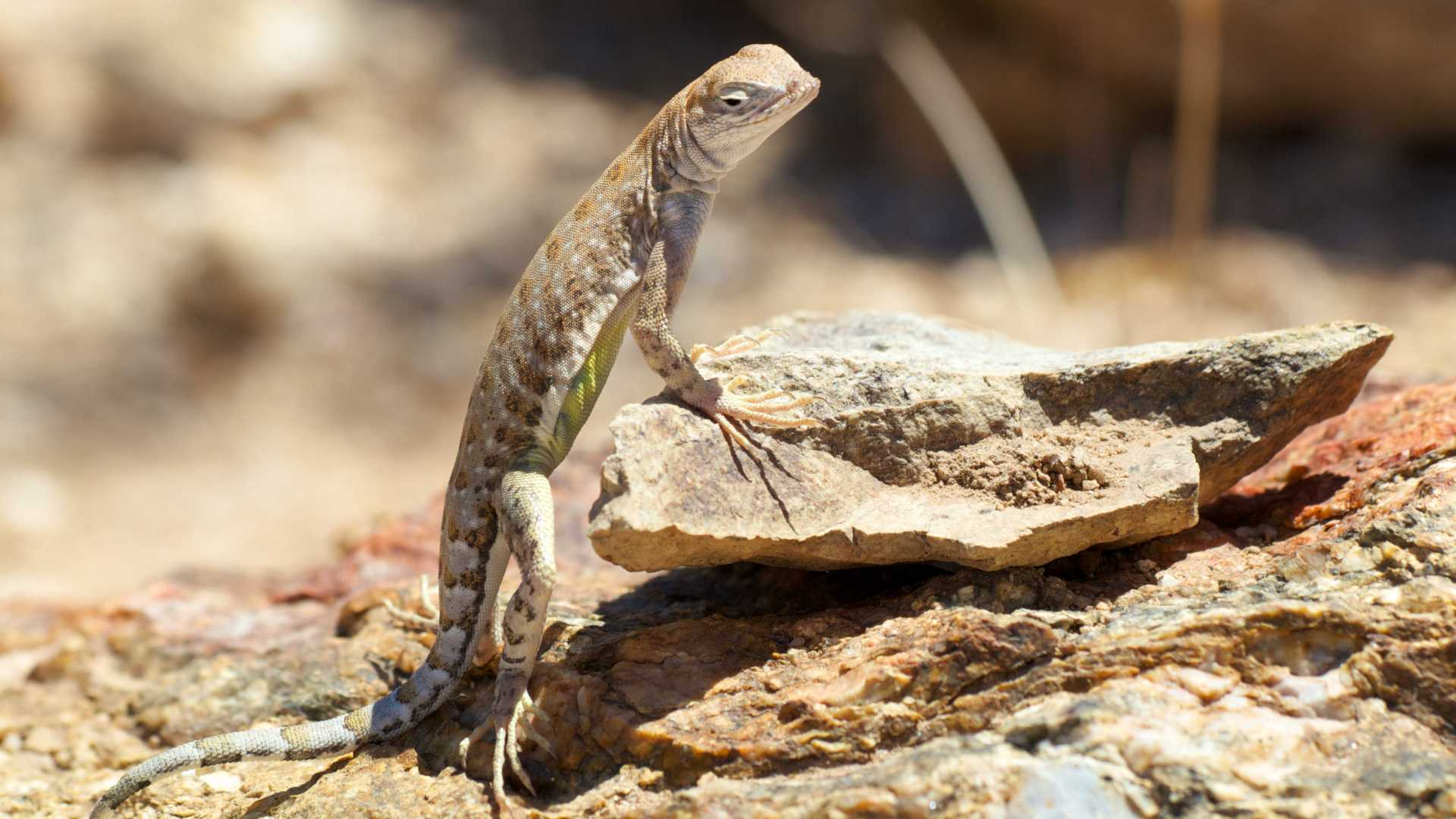 Lizard in Sonoran Desert