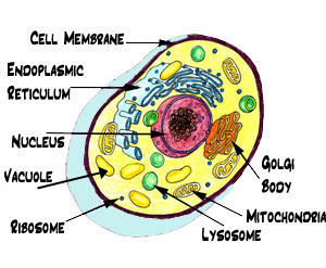 Typical Animal and Plant Cells | jdandreablog