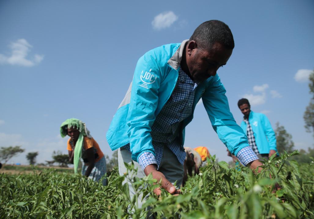 Three Tikkun Olam Ventures (TOV) farmers in Ethiopia working in a field
