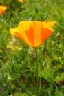 Golden California Poppy