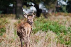 Young Stag
