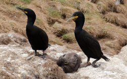 Shags with Chick