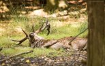 Red Deer bathing